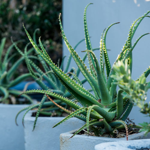 Cape Town guest house potted aloe plantlike