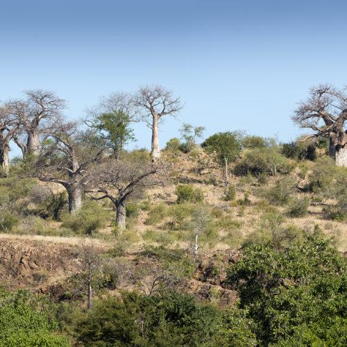 Safari bush house view of baobab trees