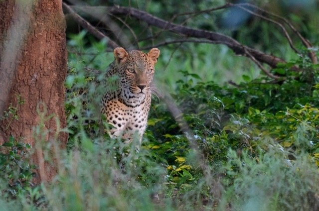 Pafuri Camp Leopard Sighting