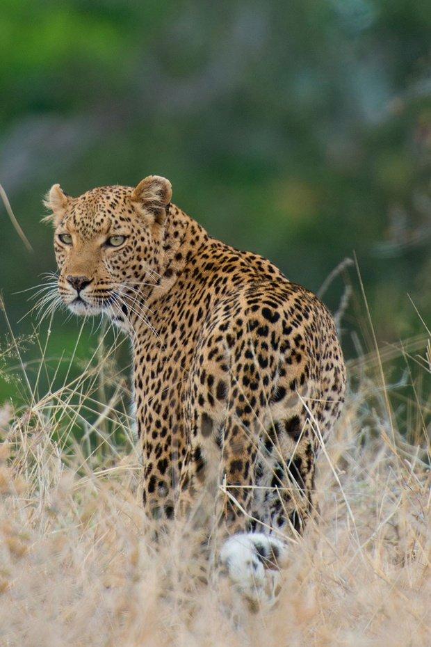 Northern Kruger Pafuri Leopard