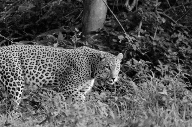 The Elusive Pafuri Female Leopard