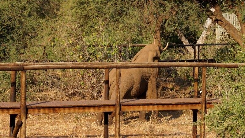 Pafuri Elephant Feeding