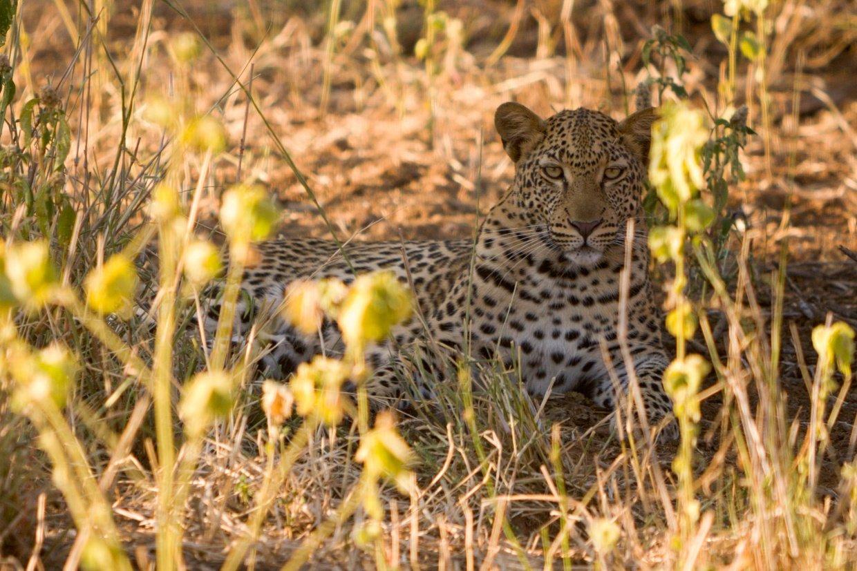 Northern Kruger Leopard