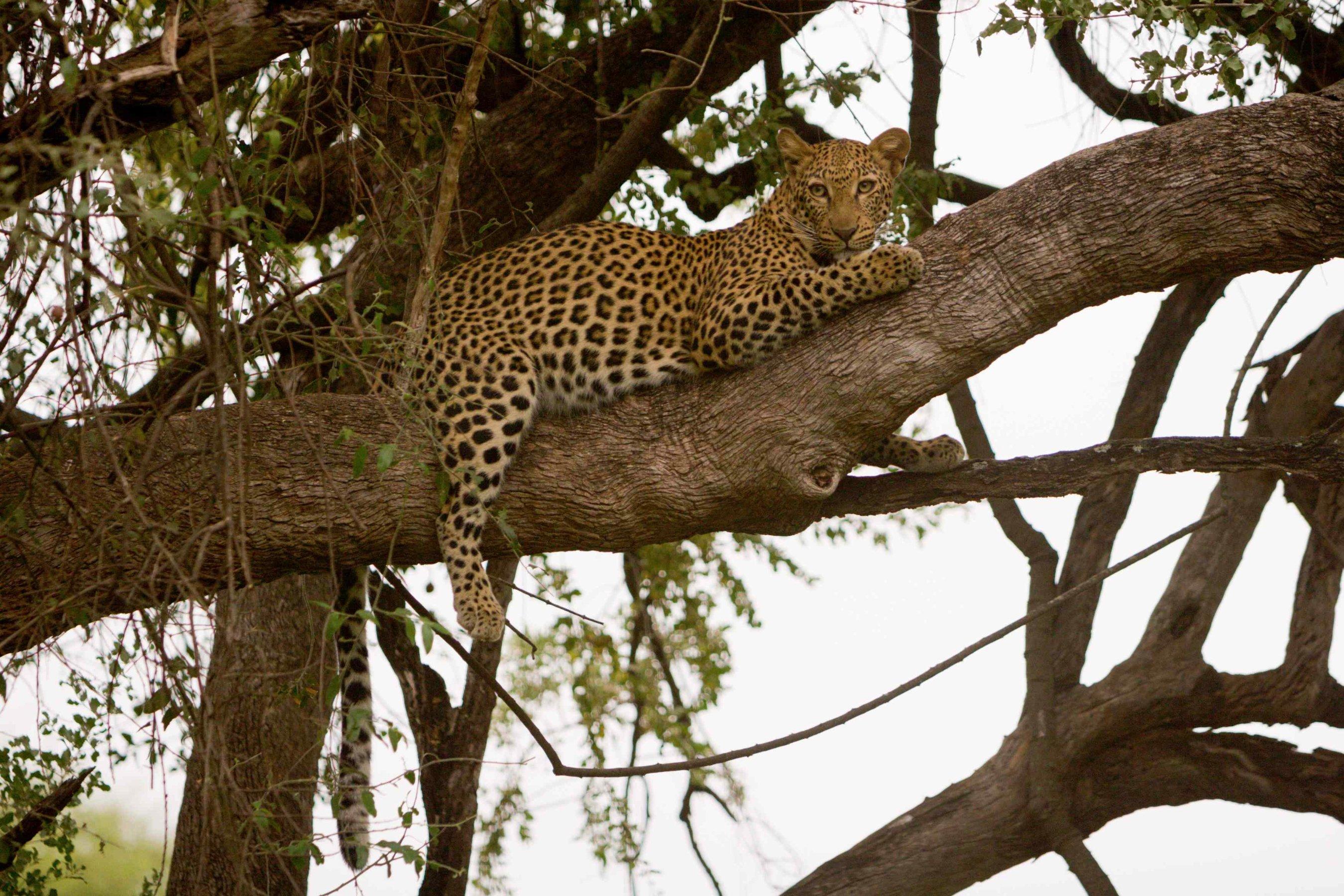 Northern Kruger Pafuri Female Leopard