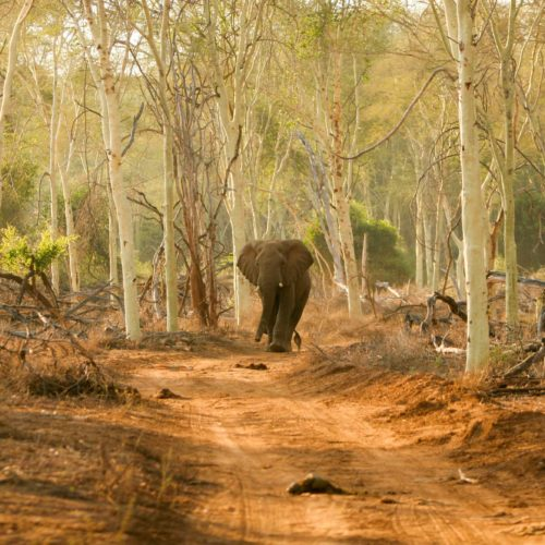 African elephant in fever tree forest