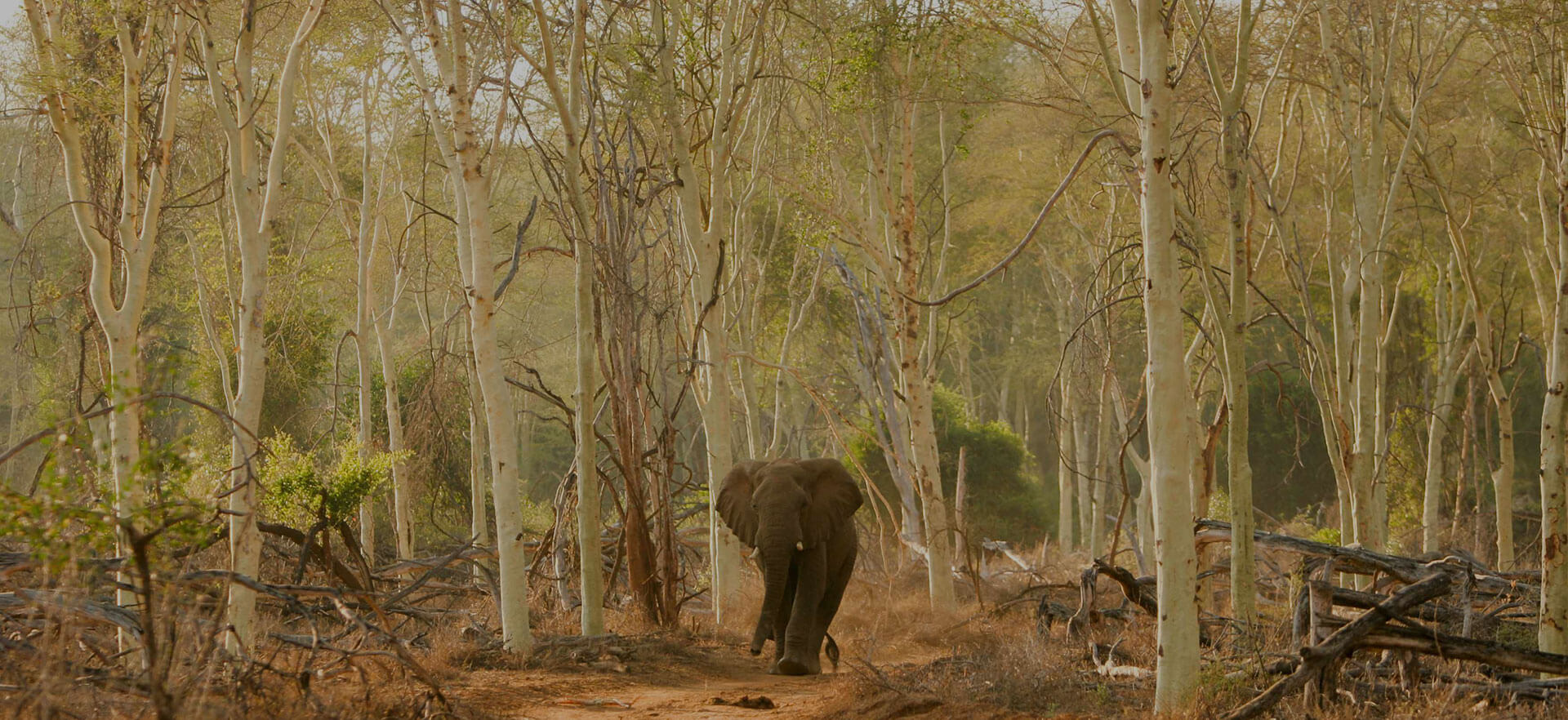 Single African elephant running in bush fever tree forest