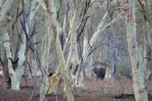 elephant in fever tree forest pafuri Kruger park