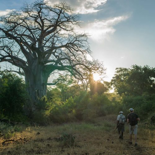 Large baobab on Pafuri walking safari