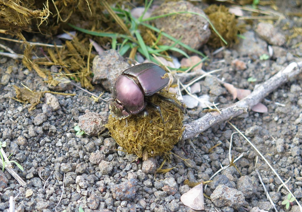 Dawn Jorgensen. Pafuri Walking Trail. Dung Beetle
