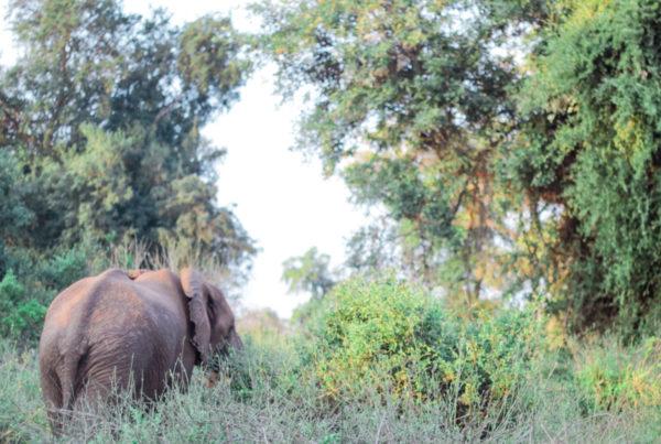 Elephant Walking In Sunset