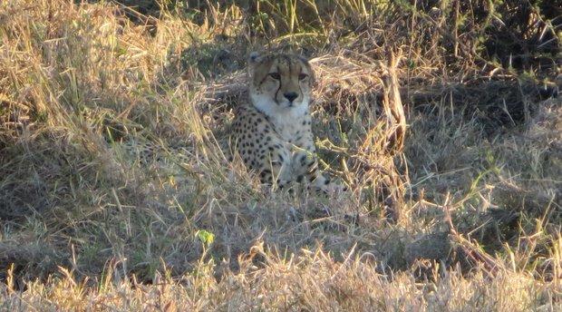 Cheetah's In Pafuri – WOW!!